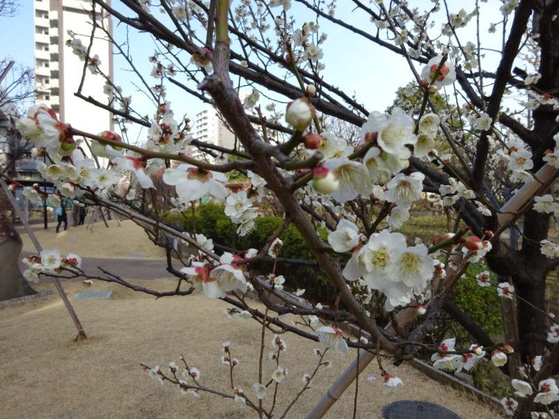 聖蹟蒲田梅屋敷公園(大田区)は京急線の京急蒲田と梅屋敷の中間のところにある観梅だけではなくあやめも楽しめる公園