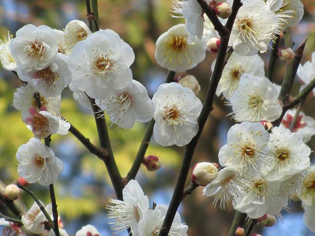 池上梅園(大田区池上)は約8800平方メートルに30種約370本の紅白梅や多様な植木がありますが2019年梅の開花状況は?
