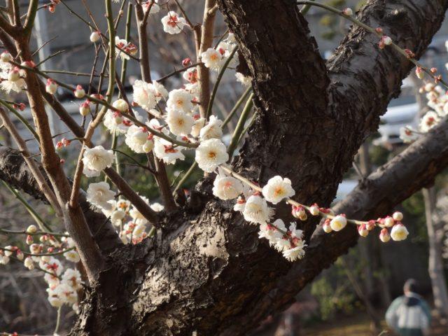 大田区の区の花はウメ
