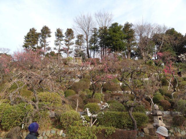 池上梅園は丘陵斜面に梅