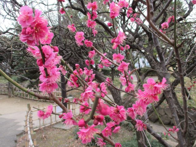 聖跡蒲田梅屋敷公園(大田区蒲田)は江戸(文政)時代に近郷から数百本の梅の銘木を集めて造られた庭園で東海道の名物