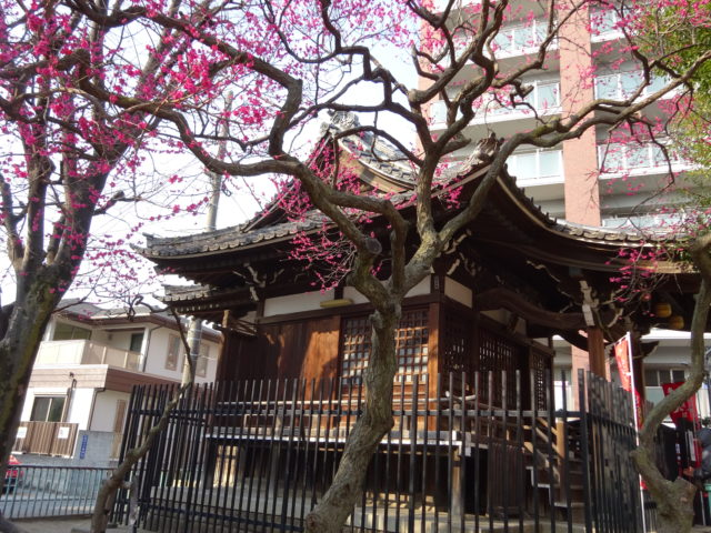 大田区矢口の氷川神社は紅梅が咲き誇っています